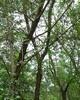 Rosewood 花梨木