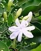 Jasmine Auriculatum Absolute - Jasminum auriculatum