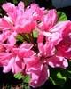 Rose Geranium - Pelargonium rosium