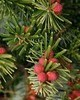Fir Needle Silver Wild - Abies alba