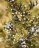 Helichrysum (rambiazina) Organic - Helichrysum gymnocephalum