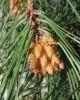 Pine Ocean Wild - Pinus pinaster